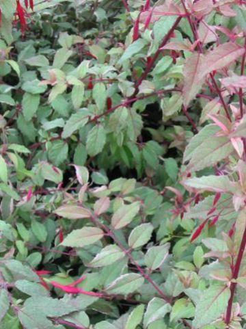 Fuchsia magellanica var. versicolori  - Bellenplant