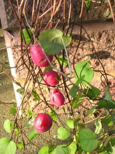 Fuchsia procumbens  - Bellenplant , Kruipende Bellenplant