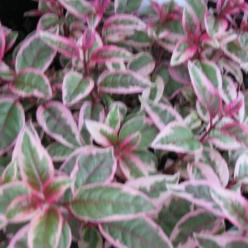 Fuchsia  'Tom West' - Bellenplant