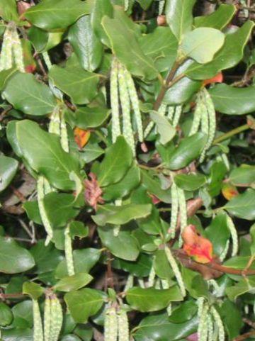 Garrya elliptica  -
