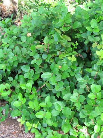 Gaultheria shallon - Appeltjesblad