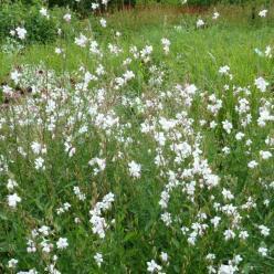Gaura lindheimeri 'Whirling Butterflies' - Lindheimers Prachtkaars