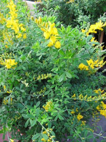Genista × spachiana  - Kamerbrem