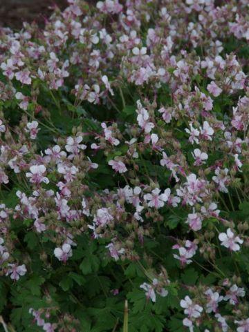 Geranium × cantabrigiense 'Biokovo' - Ooievaarsbek
