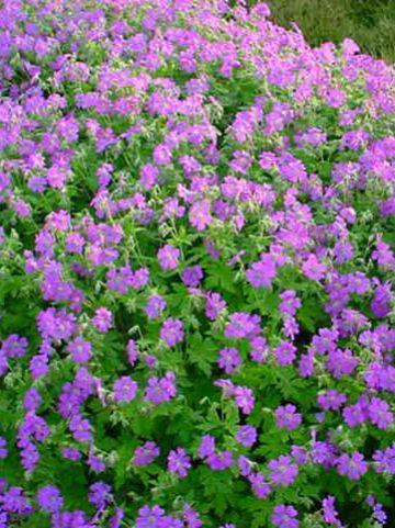 Geranium x cantabrigiense 'Cambridge' - Ooievaarsbek