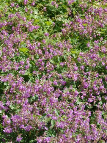 Geranium × cantabrigiense 'Karmina' - Ooievaarsbek