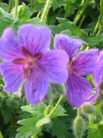 Geranium magnificum - Ooievaarsbek