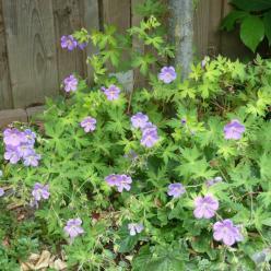 Geranium  'Blue Sunrise' (='Blogold') - Ooievaarsbek