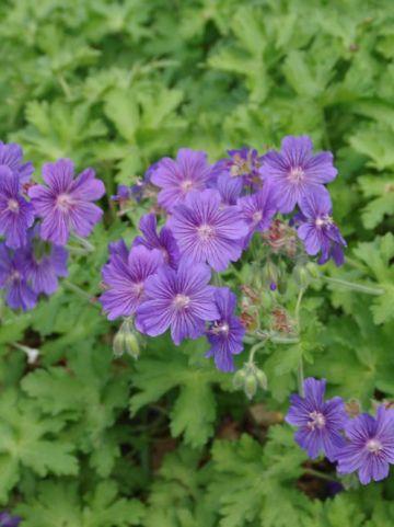 Geranium  'Sabani Blue' (='Bremigo') - Ooievaarsbek