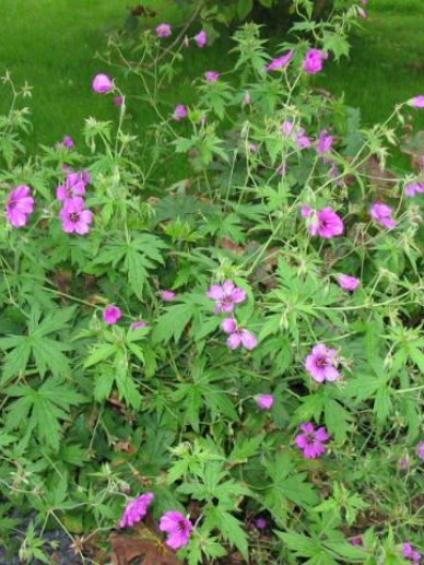 Geranium 'Patricia' - Ooievaarsbek