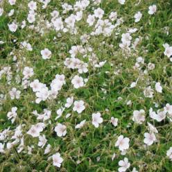 Geranium clarkei 'Kashmir White' - Ooievaarsbek
