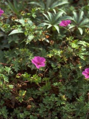Geranium  'Dilys' - Ooievaarsbek