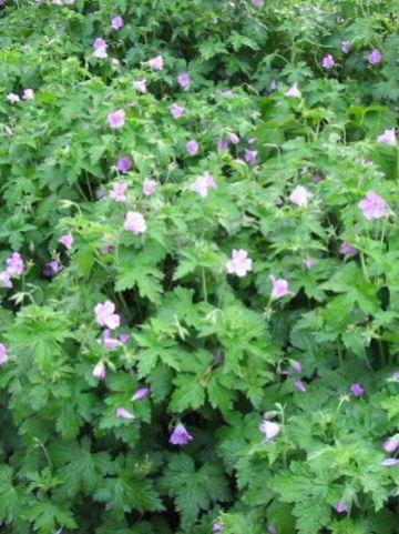 Geranium endressi - Ooievaarsbek