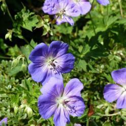 Geranium 'Gerwat' (= 'Rozanne') - Ooievaarsbek