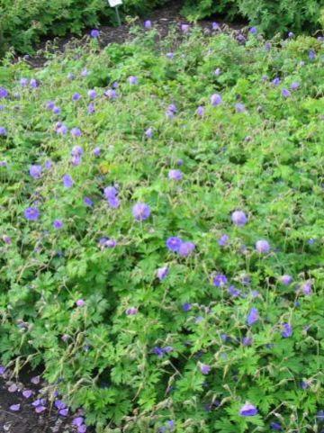 Geranium himalayense  - Beemdooievaarsbek