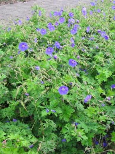 Geranium himalayense 'Gravetye' - Ooievaarsbek