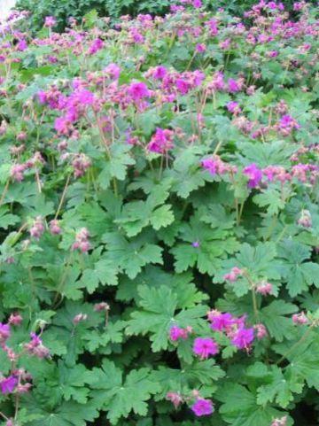 Geranium macrorrhizum 'Czakor' - Ooievaarsbek