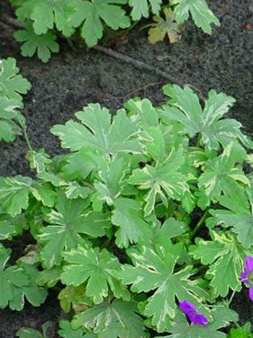 Geranium macrorrhizum 'Variegatum' - Bontbladige ooievaarsbek