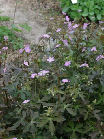 Geranium maculatum 'Elizabeth Ann' - Ooievaarsbek