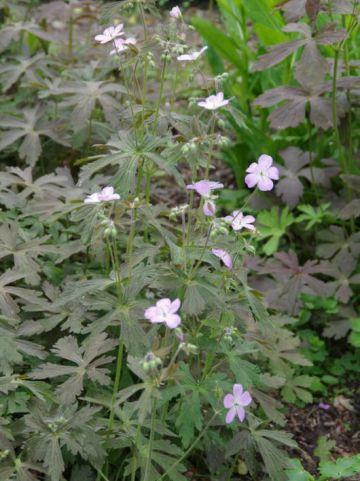Geranium maculatum 'Expresso' - Ooievaarsbek