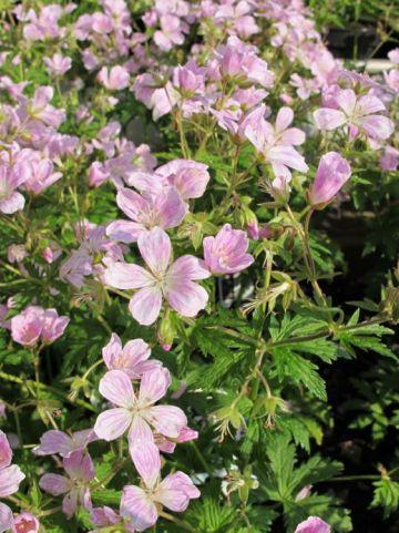 Geranium 'Melinda' - Ooievaarsbek