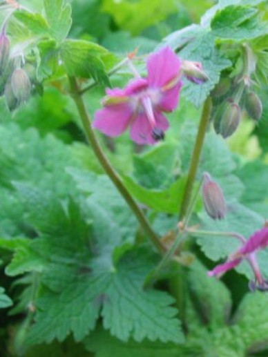 Geranium × monacense  'Claudine Dupont' - Ooievaarsbek