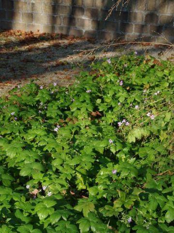 Geranium nodosum - Ooievaarsbek