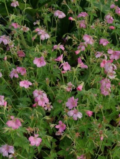 Geranium oxonianum 'Wageningen' - Ooievaarsbek
