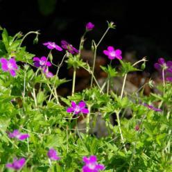 Geranium palustre  - Moerasooievaarsbek