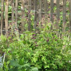 Geranium phaeum  - Donkere ooievaarsbek