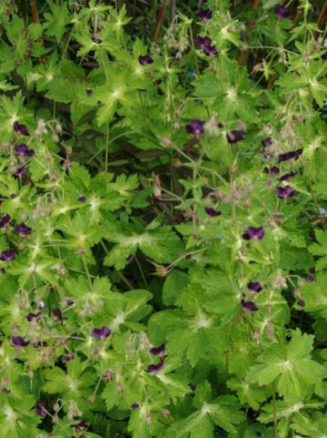Geranium phaeum 'Lisa' - Donkere ooievaarsbek