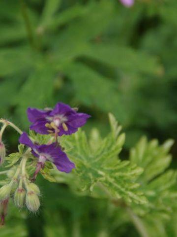 Geranium phaeum 'Margaret Wilson' - Donkere ooievaarsbek