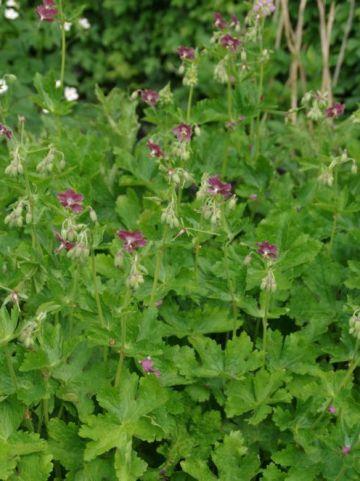 Geranium phaeum 'Rose Madder' - Ooievaarsbek
