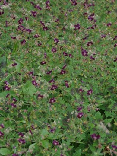 Geranium phaeum 'Samobor' - Ooievaarsbek