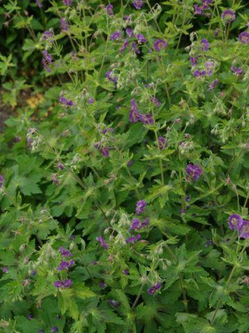 Geranium phaeum 'Springtime' - Donkere ooievaarsbek