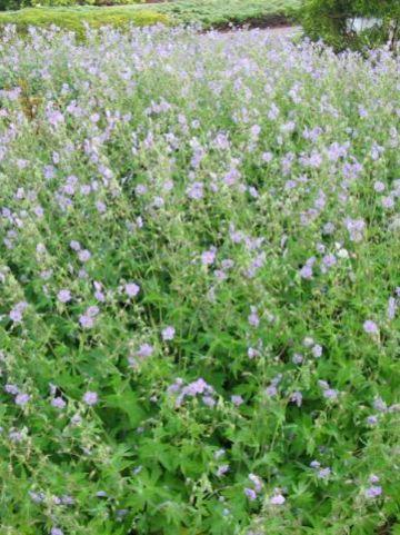 Geranium phaeum 'Walküre' - Donkere ooievaarsbek