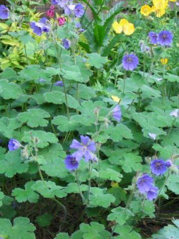 Geranium 'Philippe Vapelle' - Ooievaarsbek