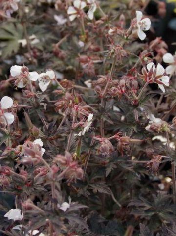 Geranium pratense 'Midnight Ghost' (='Midnightlyona') - Ooievaarsbek