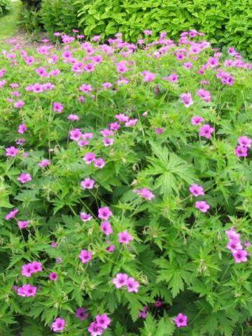 Geranium psilostemon  - Ooievaarsbek