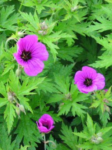 Geranium psilostemon 'Bressingham Flair' - Ooievaarsbek