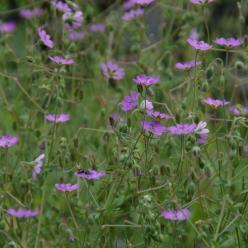 Geranium pyrenaicum  - Bermooievaarsbek , Pyrenese ooievaarsbek