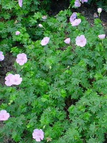 Geranium sanguineum 'Apfelblüte' - Ooievaarsbek