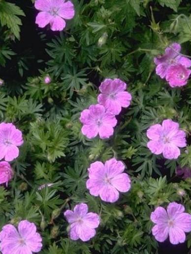 Geranium sanguineum 'Belle of Herterton' - Ooievaarsbek