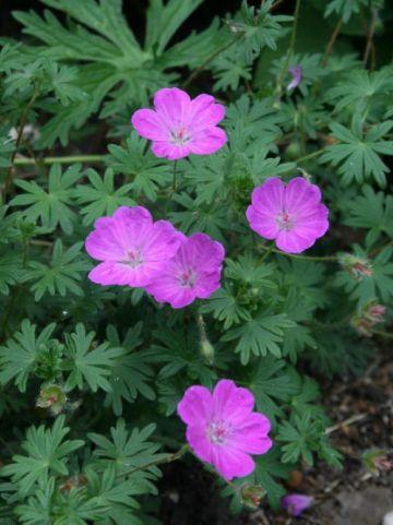 Geranium sanguineum 'Alan Bloom' (='Bloger') - Ooievaarsbek