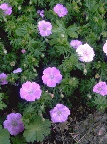 Geranium sanguineum 'Cedric Morris' - Ooievaarsbek