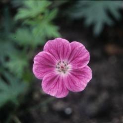 Geranium sanguineum 'Elke' - Ooievaarsbek