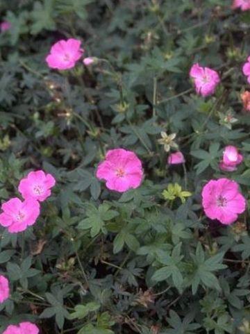 Geranium sanguineum 'Inverness' - Ooievaarsbek