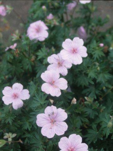 Geranium sanguineum 'Jubilee Pink' - Ooievaarsbek