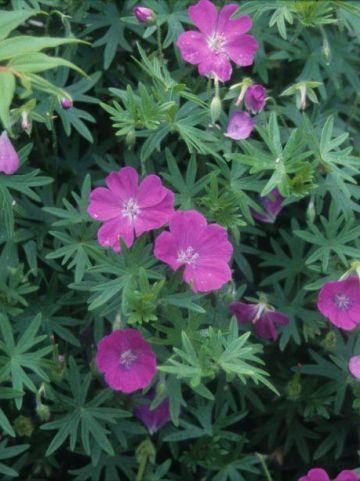 Geranium sanguineum 'Nyewood' - Ooievaarsbek
