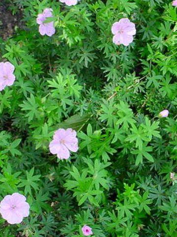 Geranium sanguineum var. striatum - Ooievaarsbek